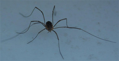 A sweet little brown Canadian Daddylonglegs, in contrast to the American kind depicted in the book.