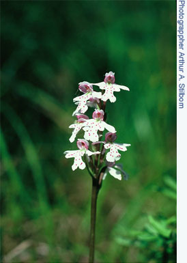 Wild Orchid cover shot of the small round-leaved orchid