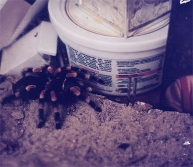 Bev's tarantula Herbie, model for Croc in Spider Summer